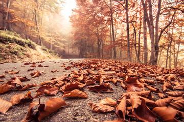 Foto op Aluminium Koraal Autumn beech road