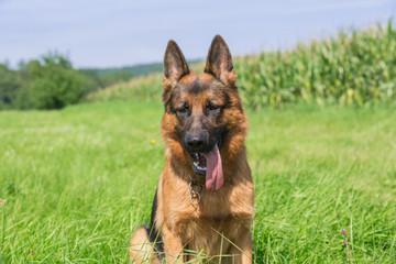 Schäferhund Bix 3