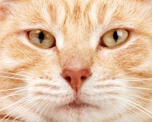 Red cat closeup.