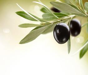 Olives. Black Ripe Olive on a tree