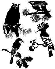 Birds of wildlife cuckoo, owl, Odud, finch