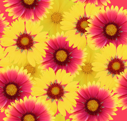 gaillardia flowers background