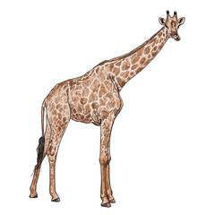 The vector of giraffe in chewing  posture