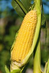Corn cob exposed to the sun
