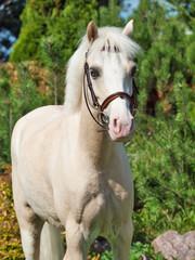 portrait of  cream  welsh pony
