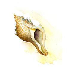 sea shell. watercolor painting