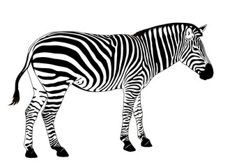 Illustration of  zebra. Vector EPS 8