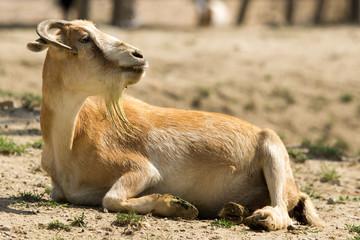 Antiloper primo piano seduta