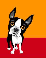 funny illustration of Boston Terrier
