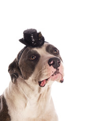 american staffordshire terrier with a small hat