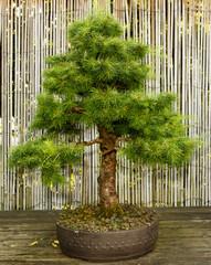 Japanischer Garten  Bonsai Baum