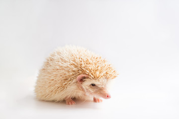 An african pigmy hedgehog on isolated background