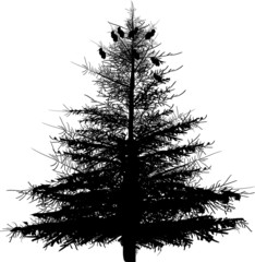 large fir isolated on white