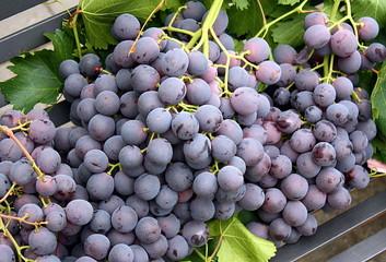 Cerca immagini uva da tavola - Uva da tavola di mazzarrone ...