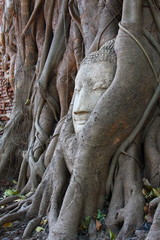 Buddha's head in banyan tree roots