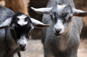 Baby Goats Stare