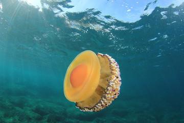 Fried Egg Jellyfish underwater in ocean