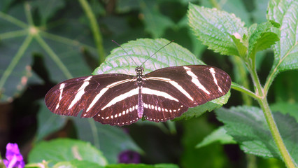 black white Zebra Longwing Butterfly insect