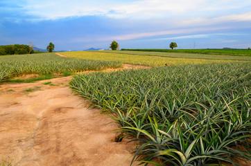 Pineapple fruit field
