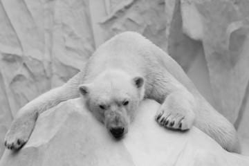 Holidaymaker polar bear closeup