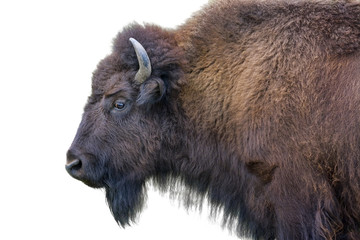 Tuinposter Bison Adult Bison Isolated on White