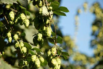 Hop vines against a blue sky
