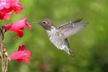 Fotoväggar - Annas Hummingbird (Calypte anna)