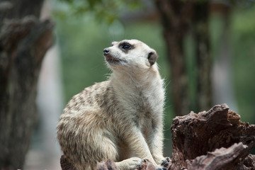 Meerkat.