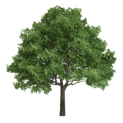 North American Oak Tree Isolated