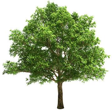 Big Oak Tree Isolated