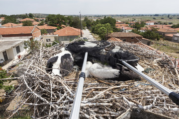Young storks standing in their nest