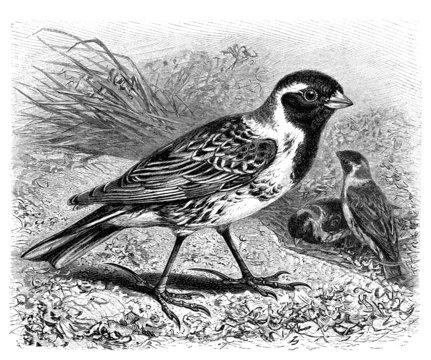 Bird : Lapland Longspur - Bruant - Spornammer
