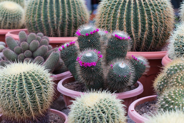 Pink Flower on Cactus