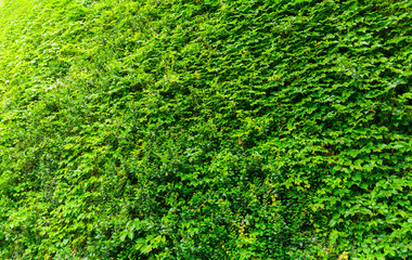 Green ivy plant wall