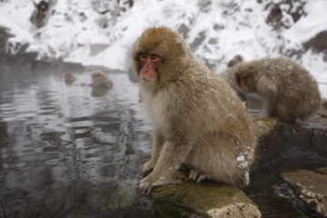 Fotoväggar - Japanese macaque or snow monkey, Macaca fuscata