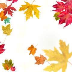 isolated autumn leaves ahorn