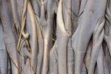a pipal tree