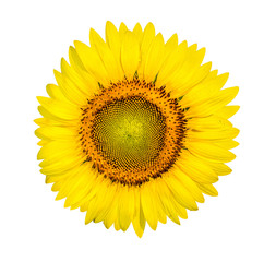 Sunflower with dew drops, clipping path