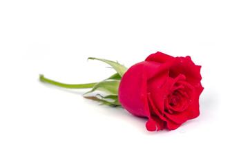 Beautiful blomming red rose.