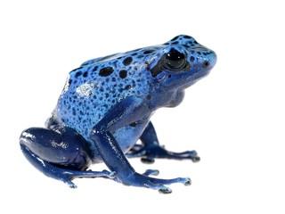 Blue dyeing dart frog Dendrobates tinctorius azureus isolated
