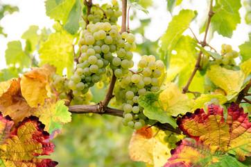 Fototapete - Weinstock mit weißen Trauben