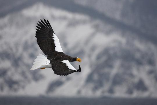 Stellers sea-eagle, Haliaeetus pelagicus