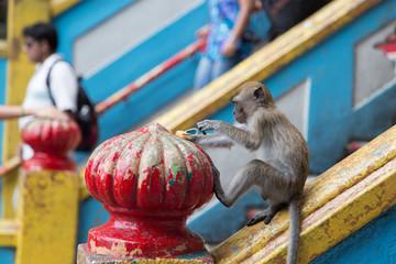 Cynomolgus Monkey at Batu Caves