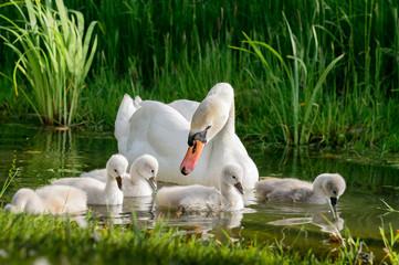 Foto op Canvas Zwaan Big swan family