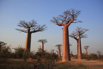 des baobabs