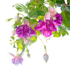 branch lilac fuchsia flower isolated on white, Heydon