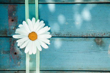 Fresh white daisy on blue wooden planks