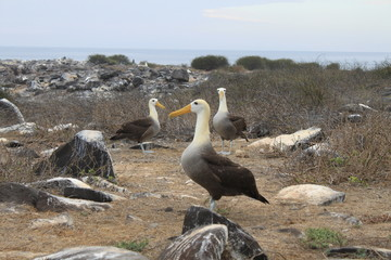 Albatrosses on the Galapagos Islands