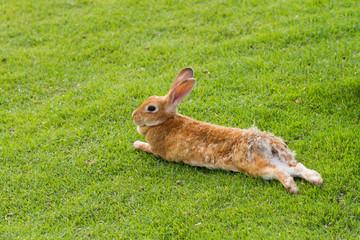 Rabbit prostrates in garden