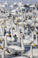 Wall Mural - Whooper swan, Cygnus cygnus